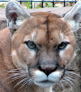 A Mountain Lion - Public Domain Image