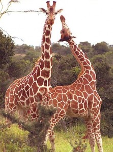 The Giraffe is the World's Tallest Animal
