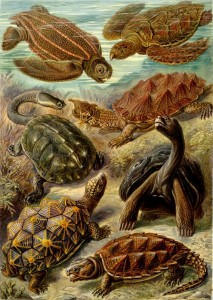 Different Types of Turtles and Tortoises - Drawings by Haeckel, 1904