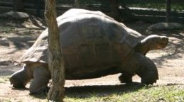 Harriet, The Long-Lived Galápagos Tortoise