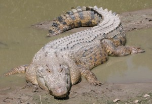 The Saltwater Crocodile - The World's Biggest Reptile