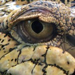Saltwater Crocodile Eye