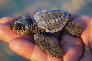 A Baby Leatherback Sea Turtle - Only 1% Of These Cute Creatures Grow To Adult Size