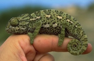 Chameleons are famous for their ability to change color