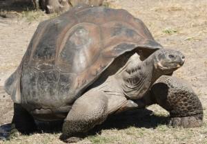 Elephantopus de Geochelone de tortue géante de Galapagos - photographie par le champ de Matthew