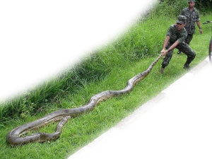 Brazilian Soldiers Tacking A Green Anaconda