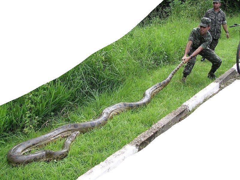 Green Anaconda Snake
