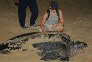 Leatherback Turtle Laying Eggs - The Leatherback Sea Turtle is the world's largest turtle