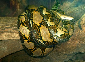 Reticulated Python at Singapore Zoo