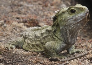 Tuatara - Not a Lizard
