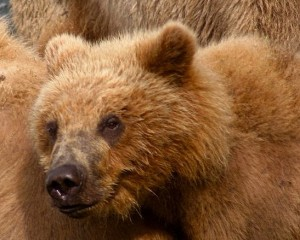Most bears eat both meat and plants