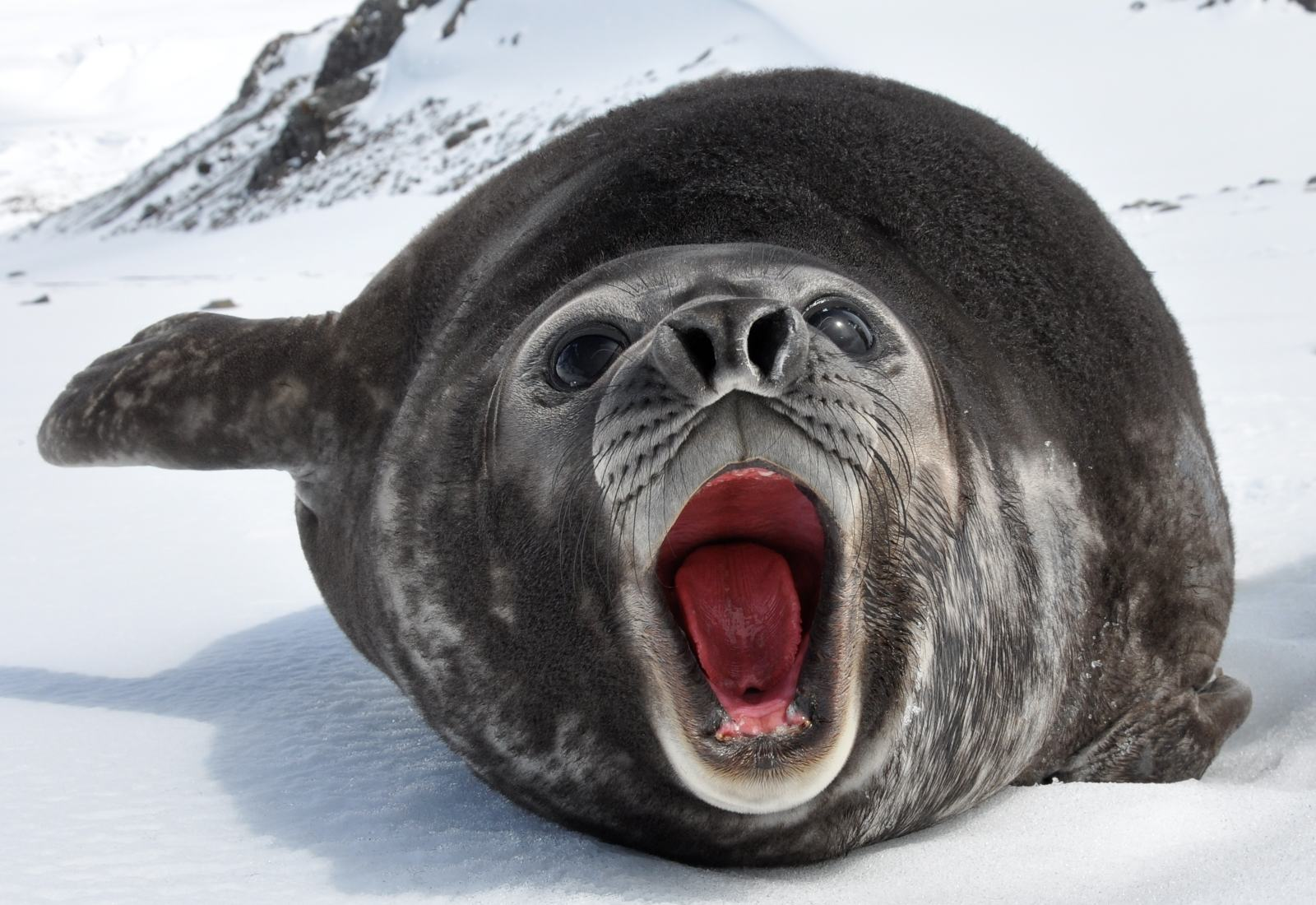Southern Elephant Seal « Big Animals
