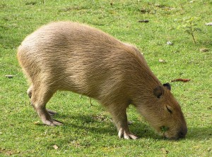 The Capybara is the World's Biggest Rodent - Photograph by Vojtěch Hála