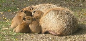 "All the mothers in the group help care for capybara babies - picture by ""Bradypus"""