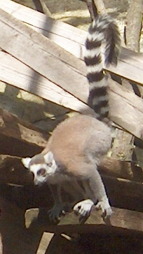The Ring-Tailed Lemur is one of the noisiest primates