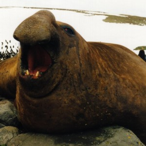 Male Southern Elephant Seal - Photgraph by Bruno Navez