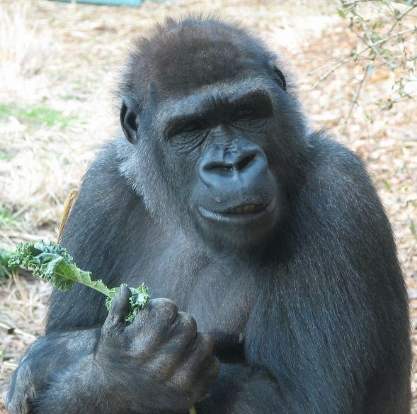 Gorilla hittades hangd i djurparken
