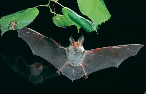 A Bat In Flight - Photo Credit Dietmar Nill, PLoS Computational Biology