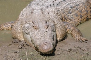 The Saltwater Crocodile is the world's biggest reptile