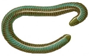 Caecilians look just like worms or snakes!