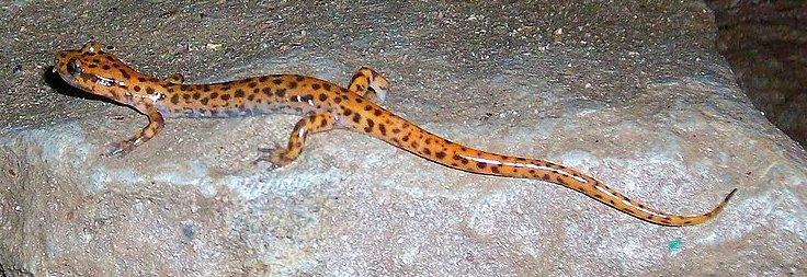 Salamanders « Big Animals