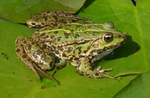 Frogs are the Amphibians people know best