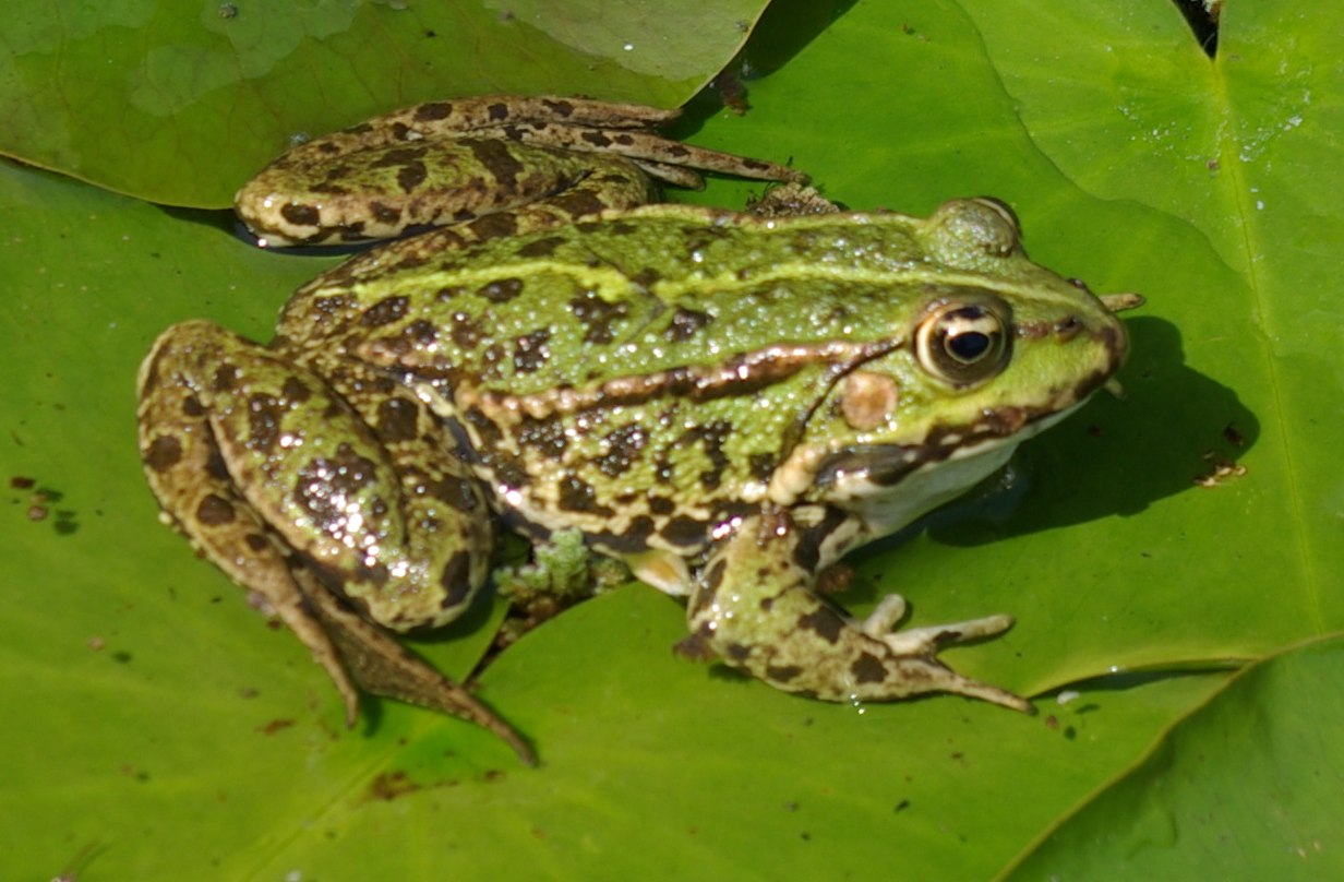 Amphibians Toads Amphibians « Big ...