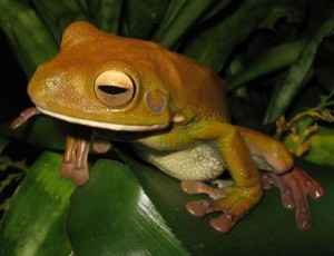 The Giant Tree Frog