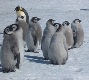 A Group of Emperor Penguin Chicks