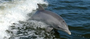 The Cetaceans Include Whales And Dolphins