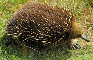 "An Echidna - picture by ""KeresH"""