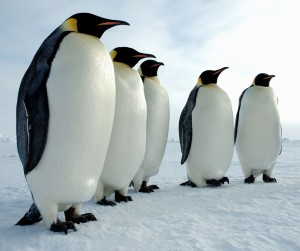 A Magnificent Troupe of Emperor Penguins
