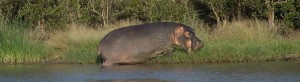 The Hippopotamus is one of the most dangerous animals in Africa!