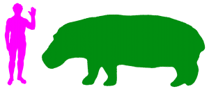 The Hippopotamus is the fifth largest land animal