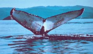 Cetaceans Have Horizontal Tails