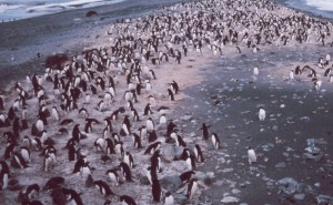 Penguins Live in Large Groups