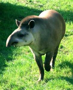 The Tapir is an Odd-Toed Ungulate