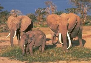 All Modern Proboscids ar Elephants