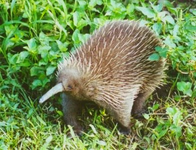 El Echidna de pico largo occidental