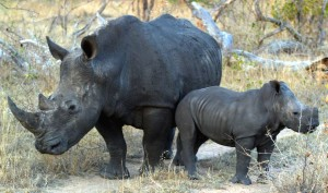 A White Rhinoceros Mother And Calf - Photograph by James Temple