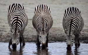 Zebras and Horses are the Third Group of Odd-Toed Ungulates