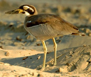 The Beach Stone-curlew is the World's Heaviest Shorebird
