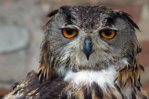 El búho de Eagle eurasiático - fotografía de Adán Kumiszcza