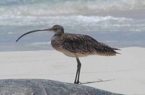 The Far Eastern Curlew has a Very Long Beak!
