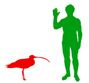The Far Eastern Curlew is the World's Biggest Wader or Shorebird
