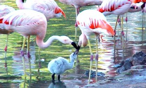 Flamingoes and a Chick