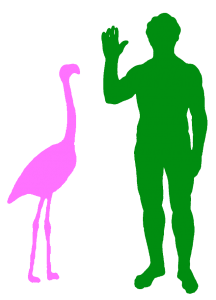 A Typical Greater Flamingo and a Human