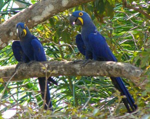 The Hyacinth Macaw - Photograph by Wikimedia user BluesyPete