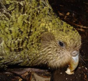 The Kakapo - photograph by Markus Nolf