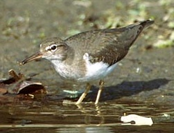 The Sandpiper is a typical Wader